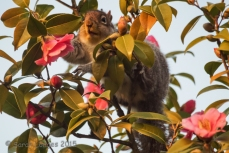 Squirrel on Camellia