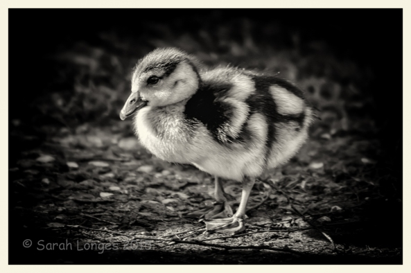 First Gosling Of The Year