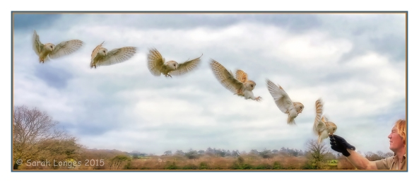 Barn Owl Flight