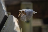Nuthatch taking off!