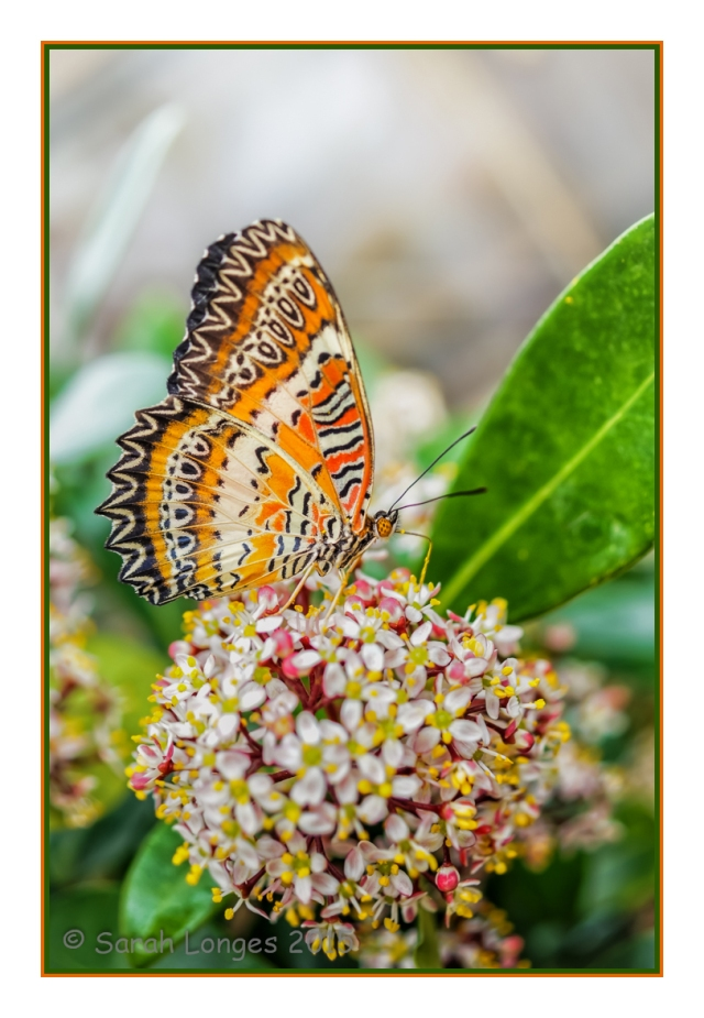 Malay Lacewing on Blossom