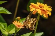European Swallowtail