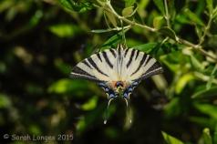 Scarce Swallowtail