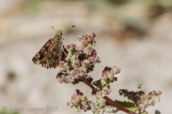 Marbled Skipper