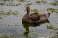 Young Greylag