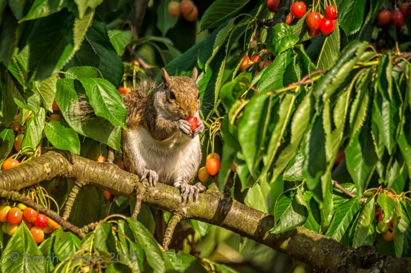 The Cherry Picker