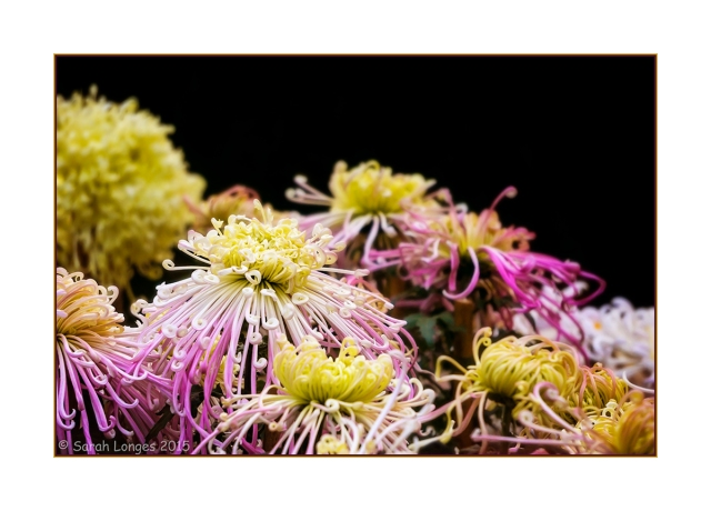 Ornamental Chrysanthemum