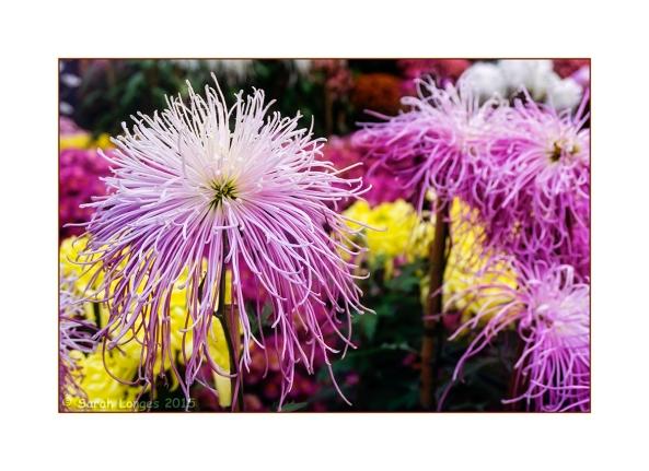 Chrysanthemum Explosion