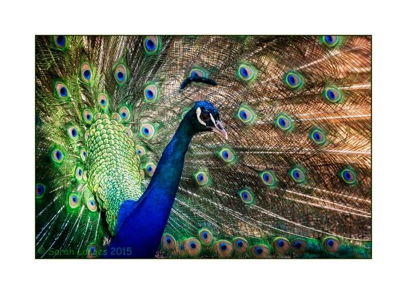 Plaka Peacock