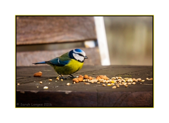 Feeding The Blue Tit