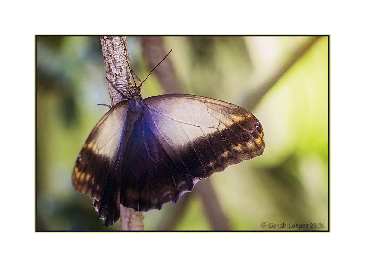 Owl Butterfly - Open Wings