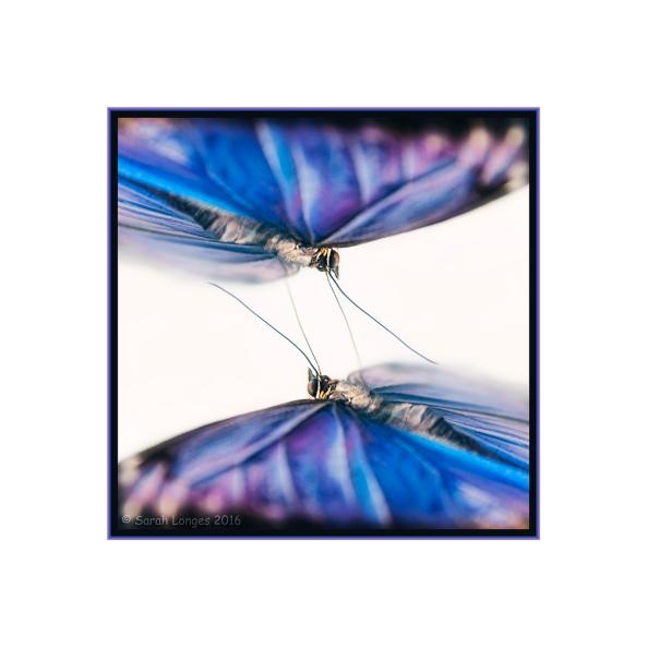 Mirrored Morpho
