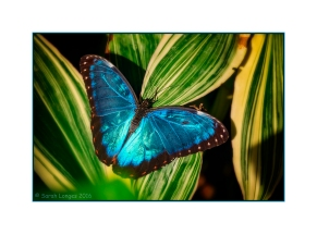 Iridescent Blue Wings