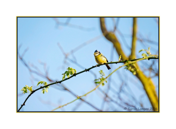 Blue Tit and Blue Skies