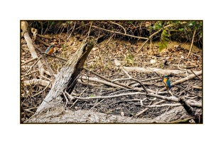 Kingfisher pair (cropped)