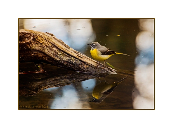 Grey Wagtail looking for food
