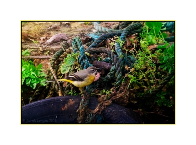 Grey Wagtail and blue tow rope