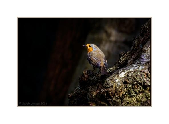 Radiant Robin