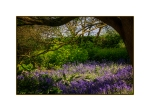 Bluebells at Wisley Gardens