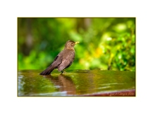 Blackbird in a water feature