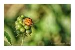 Colourful Shield Bug