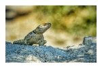 Here be Dragons! Actually a rock agama at Agios Stefanos