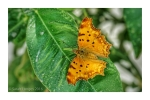 Southern Comma Butterfly
