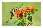 Scarce Swallowtail Butterfly on Lantana