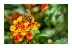 Bee Moth on Lantana