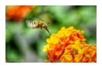 Bee Moth feeding on Lantana