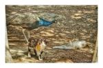 Cats and Peacocks living in harmony at Plaka