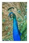 Displaying Peacock at Plaka