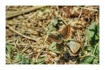 Pair of Brown Argus Butterflies