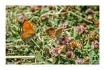 Lesser Fiery Copper Butterflies