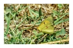 Clouded Yellow Butterly