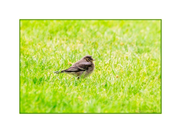 Fledgling Pied Wagtail