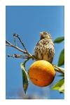 Sparrow on an orange in Kos Town