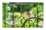 Sparrow in Kos Town