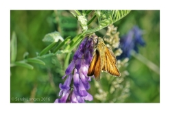 Small or Golden Skipper
