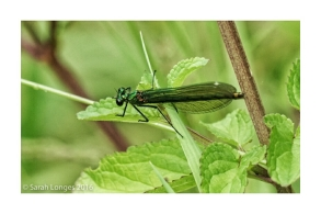 Female Beautiful Demoiselle
