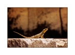 Rock Agama at The Asklepion