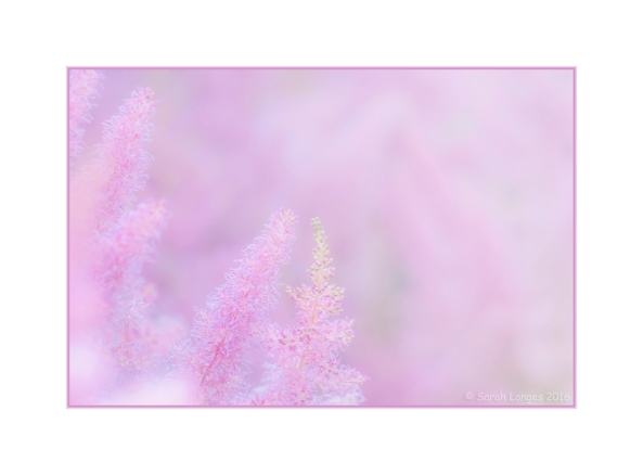 Astilbe, Softly