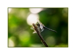 Dragonfly at the springs in Pyli