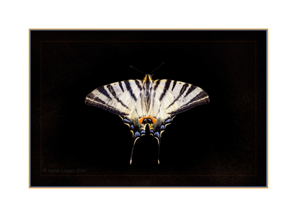 The Scarce Swallowtail Butterfly