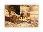 Peahen and chicks at Plaka