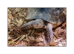 Tortoise at Plaka
