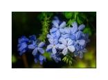Pastel Blue Blooms In Kos Town