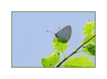 Holly Blue Butterfly perched on the beech hedge