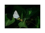 Holly Blue Butterfly laying eggs