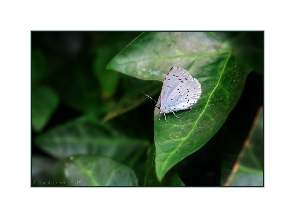 Holly Blue Butterfly On The Ivy